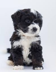 rottweiler poodle mix breed the rottle