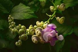 Plant Now Snail Vine Flaming Petal Blog