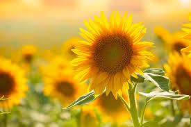 Significato dei fiori: il girasole simbolo di felicità e ...