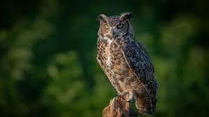 Tapeta Puchacz zwyczajny sowa Ptaki zwierzę