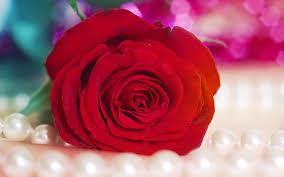 red hd wallpaper rose iphone xr jpg