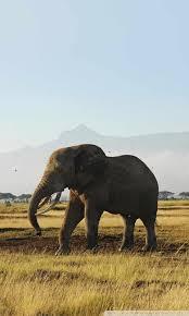 african elephants ultra hd desktop