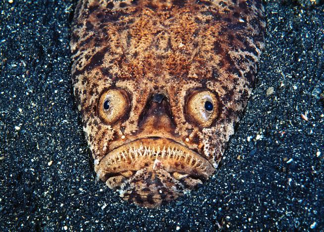 are Stargazer Fish poisonous