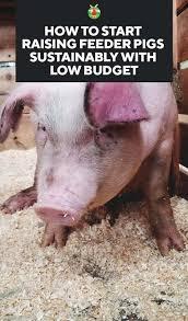how to start raising feeder pigs