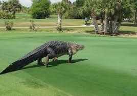 Check Out The Climbing Alligator Golfpunkhq