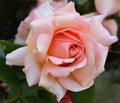 "Jackson & Perkins ""Dr. Jane Goodall Rose"" - #JGI169 | the Jane ..."