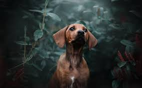 70 dachshund wallpapers on wallpaperplay