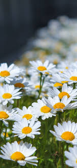 spring daisy iphone wallpapers top