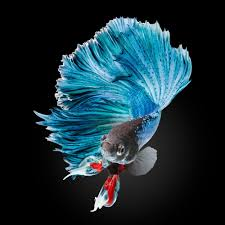 betta fish wallpapers top free betta