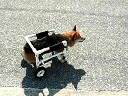 welsh corgi in homemade wheelchair