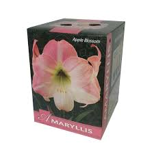 Amaryllis Bulb Kit S Oprh Gift Set Lowes Walmart ...