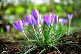 زهور الربيع أجمل 12 نوعا لتزيين حديقتك وشرفتك روزبيديا