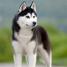 Beautiful Siberian Husky - Dogs تصویر (41414872) - Fanpop