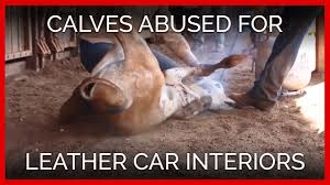 Calves Dragged And Face Branded For Leather Car Interiors
