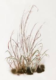 State Grass: Little Bluestem - Kansas Native Plant Society