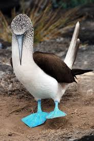 Image result for blue footed booby bird