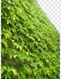 Parthenocissus Tricuspidata Virginia Creeper Vine Greening Plant - Ivy -  Green Wall Tiger Transparent PNG