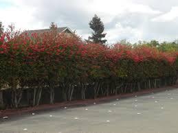 Callistemon Citrinus Bottlebrush Grows On You Hedges Australian Native Garden Modern Landscape Design Front Yard