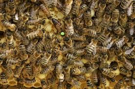 hd wallpaper swarm of honeybees at
