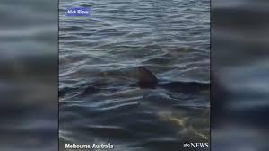 Shark swims up to Melbourne beachgoers ...