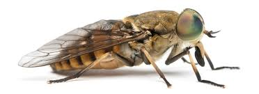 how to get rid of horse flies and avoid