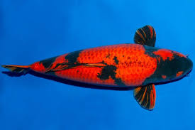 types of koi The Different Varieties of Koi fish you need to know 3