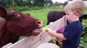 مشاهد مضحكة للبقر Cows Are Awesome Youtube