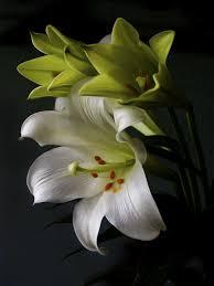 زهرة الزنبق معانيها وخصائصها وكيفية زراعتها بالصور روزبيديا