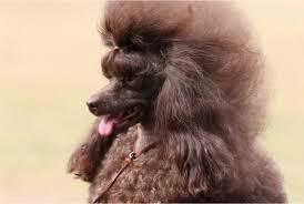silkyelk toy poodles queensland