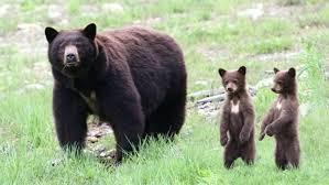 We're in bear country': Be alert, not alarmed, as bears bulk up ...