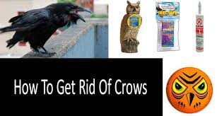 how to get rid of crows top 9 repellents