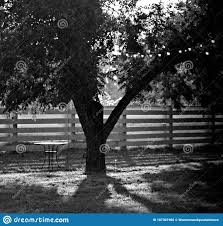 Big Tree By Split Rail Fence In Black And White Stock Photo Image Of Meadow Background 167301966