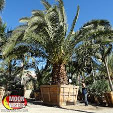 san go palm tree nursery