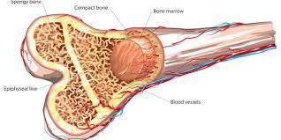 Cómo la terapia PEMF promueve la regeneración del tejido óseo ~ Terapia PEMF ...