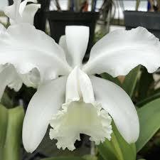"""C. Wendy Patterson 5"""" Pot– Waldor Orchids"""