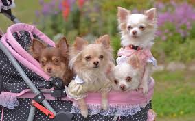 chihuahua stroller walk wallpapers hd