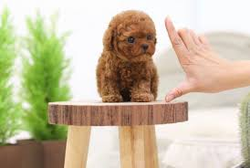 cute and sweet teacup poodle puppies