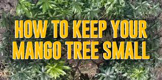 Why You Should Keep Mango Trees Small And How To Do It The Survival Gardener