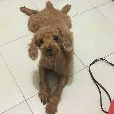 toy poodle dog bulletin board