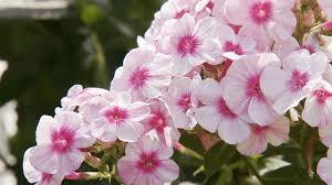 fragrant flowers for your garden