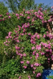 Gilda – Rose-Biblio