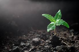 太陽の下美しい背景で土に植えられた植物の段階で大麻苗の小さな工場医療用屋内マリファナの栽培の Eceptions をクローズ アップ -  ウクライナのストックフォトや画像を多数ご用意 - iStock