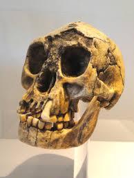 File:Homo floresiensis skull - Naturmuseum Senckenberg - DSC02091 ...