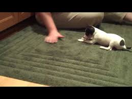 toy fox terrier puppies in texas