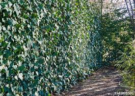 The Fence From A Grid The Chain Link Is Hidden Under English Ivy European Ivy Is