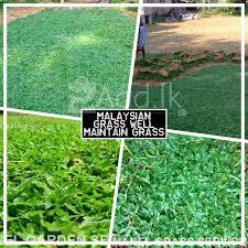 garden malaysian grass supplier free