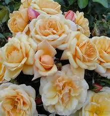 Susie Rose   Eastcroft Roses
