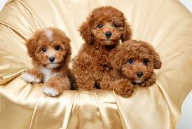 free cute puppy wallpapers