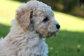 poodle puppies everything you need to