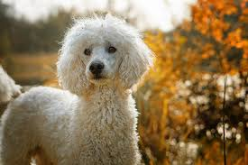 5 best dog food for poodles with